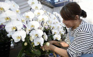 65174184 orhideja fp xl
