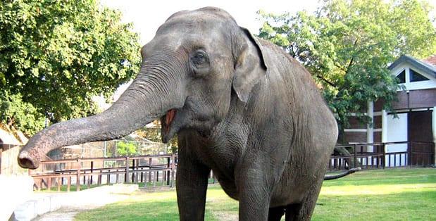 133. Azijski slon beogradski zoo vrt